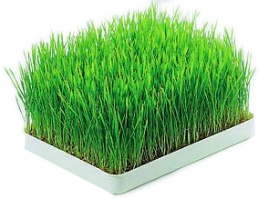 vetegräs